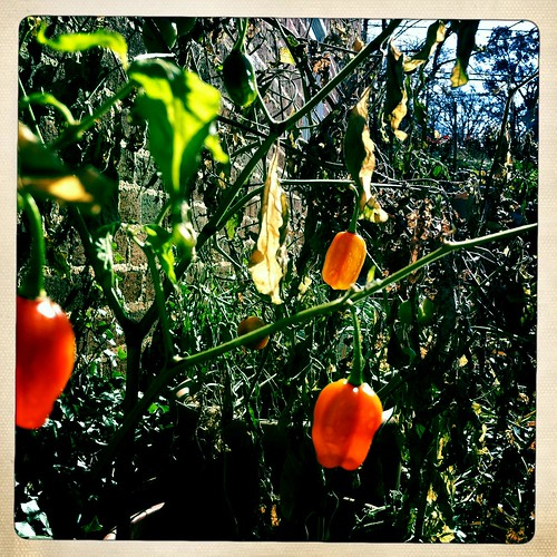 winter peppers