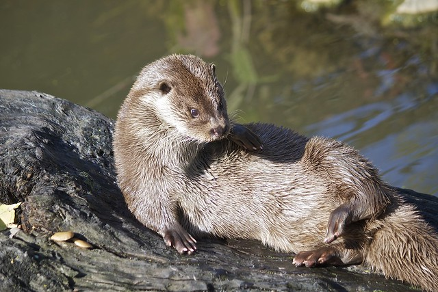 a brown otter lying on a wide log next to a waterway.