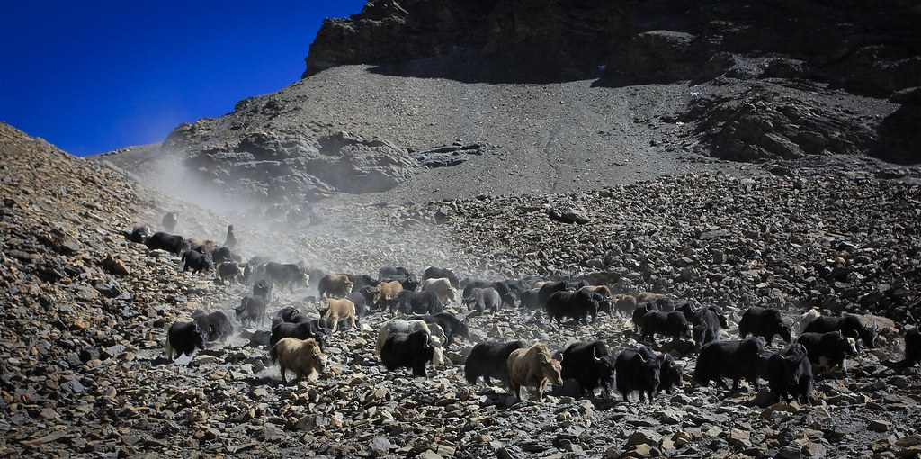 Yak caravan storming its way down from Baga La, 5100m, Phoksundo NP, Dolpo, Nepal