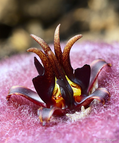 Stapelia obducta flower macro by Martin_Heigan