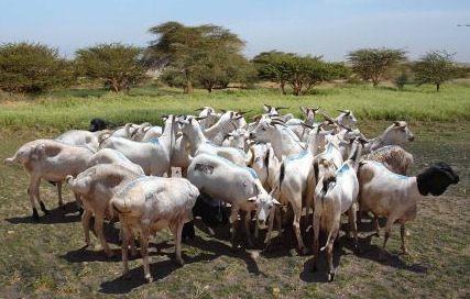 Batch of export quality Somali goats