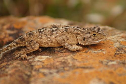 Lizard at Lisbon Falls