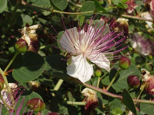 201205280662_caper-berry-bush