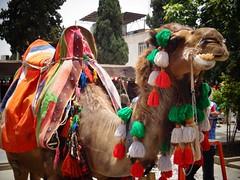 Camelo perto da fortaleza de Shiraz
