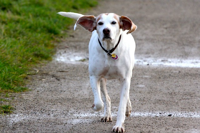 Berta the harrier hound flaps her ears