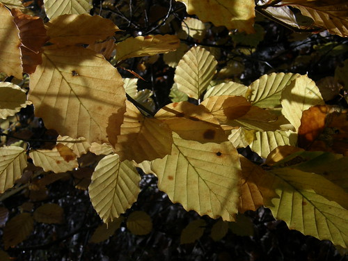 Back-lit leaves I