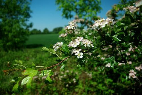 20120527-S_Hawthorn Blossom - Lias Line by gary.hadden