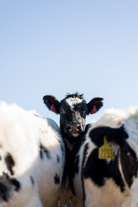 Dairy cow of Point Reyes