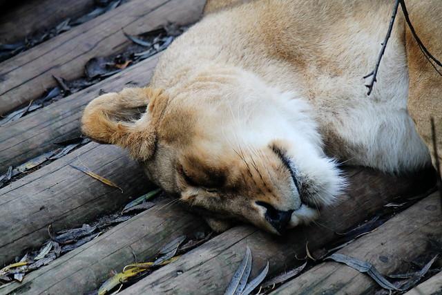 Sleepy Lionness