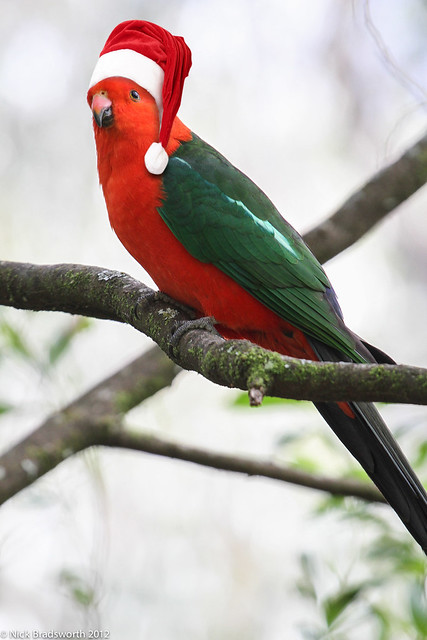 Christmas King Parrot Flickr Photo Sharing