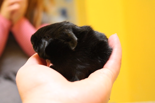The baby guinea pigs