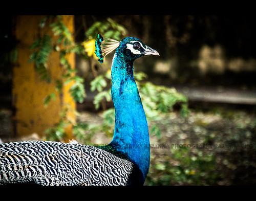 Indian Peafowl (Male) - Pavo cristatus - வண்ணமயில் by Rajanna @ Rajanna Photography