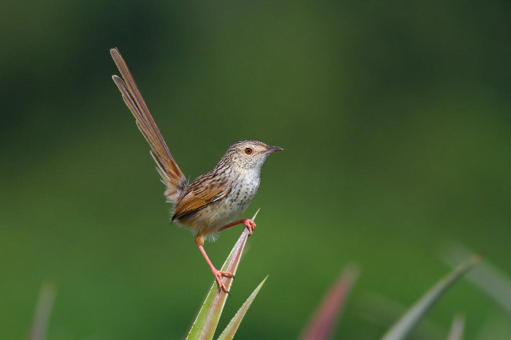普鳥之美 ~ 斑紋鷦鶯 ( 第240種 ) - 德古拉的異想世界 - Yahoo!奇摩部落格