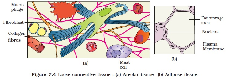 areolar connective tissue diagram flat 4 wiring ncert class xi biology chapter 7 structural organisation in animals aglasem schools