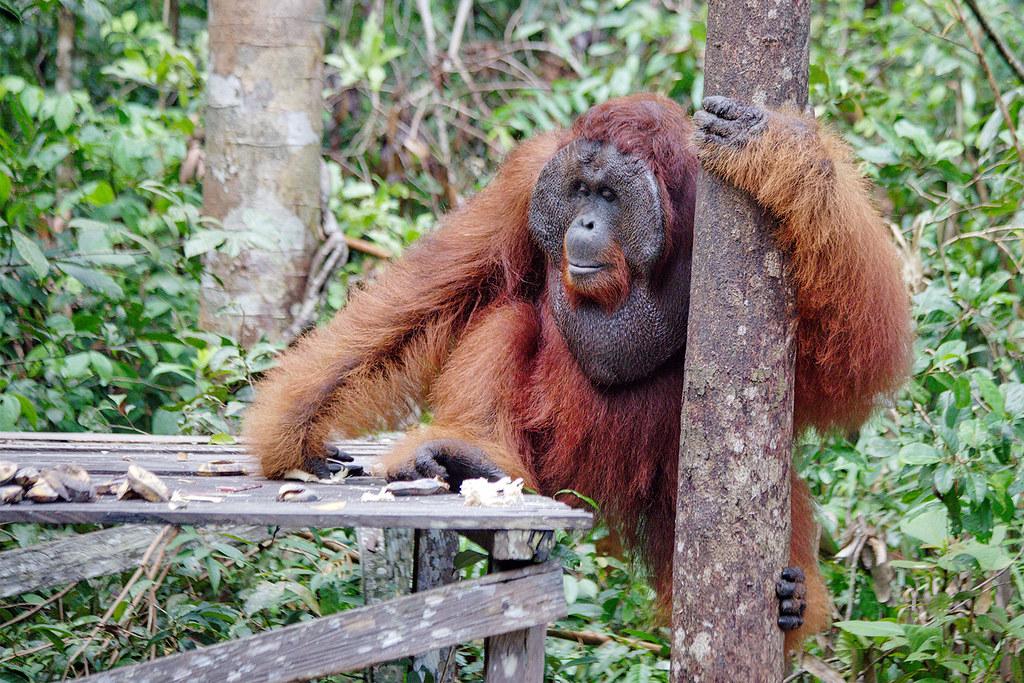 Large Male Orangutan.