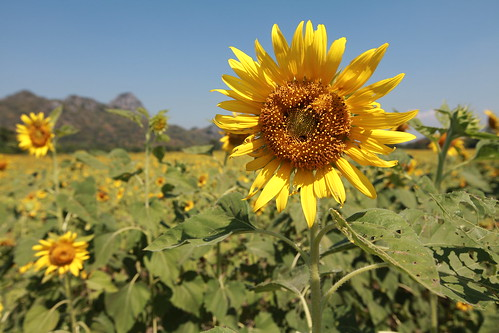 Sunflower I