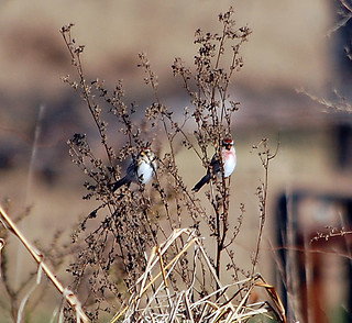 Common Redpolls at Glenhurst Meadows, Nov. 17, 2012, Photo by Jeff Ellerbusch