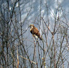 Rough-legged Hawk, Great Swamp, N.W.R., Dec. 31, 2012