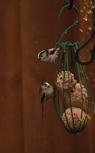 Long tailed tits disobeying the cardiologist!