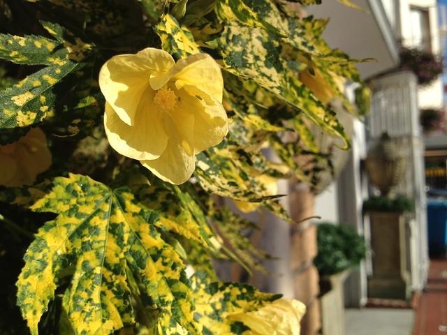 Flowering maple (Abutilon pictum, Malvaceae)