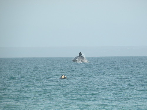 Whale breaching off of El Doradillo