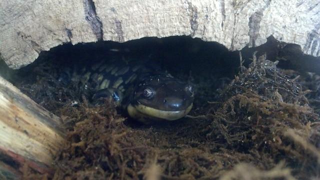 tiger salamander under log