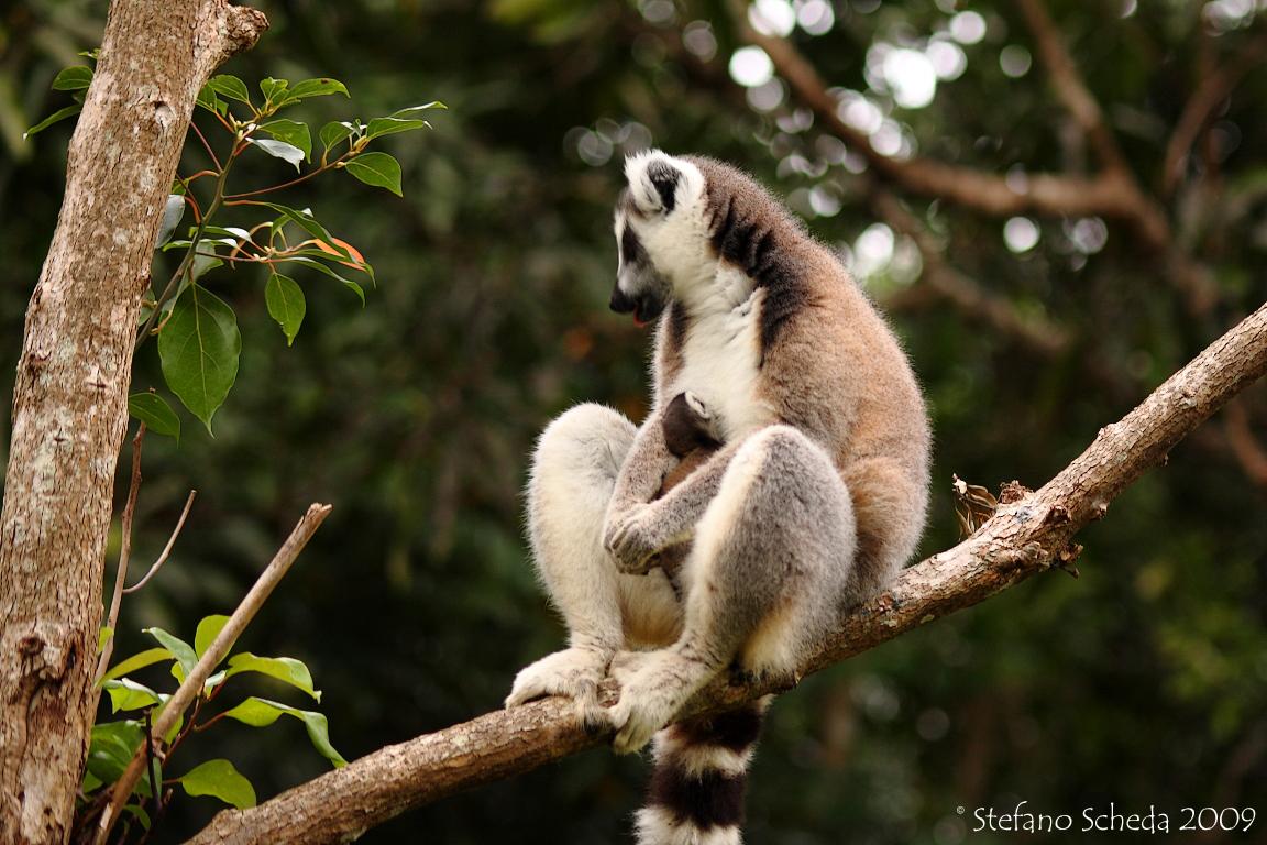 Catta Lemur with puppy
