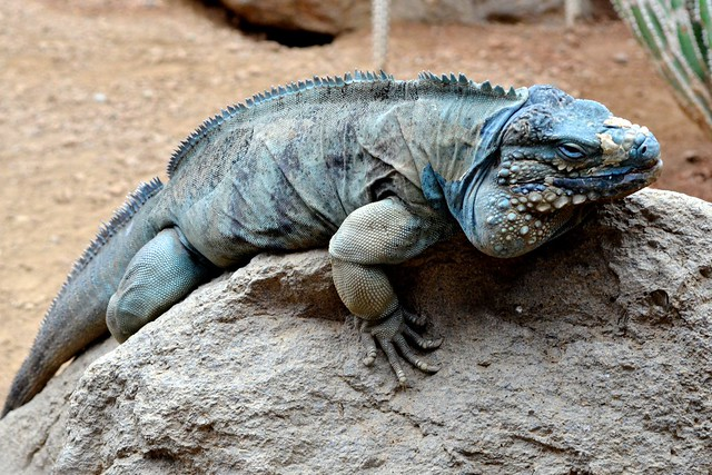 Blue Iguana on a Rock