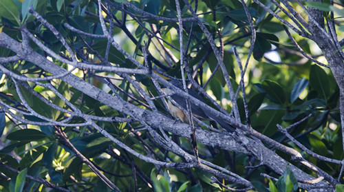 FL: Mangrove Cuckoo in the Mangroves