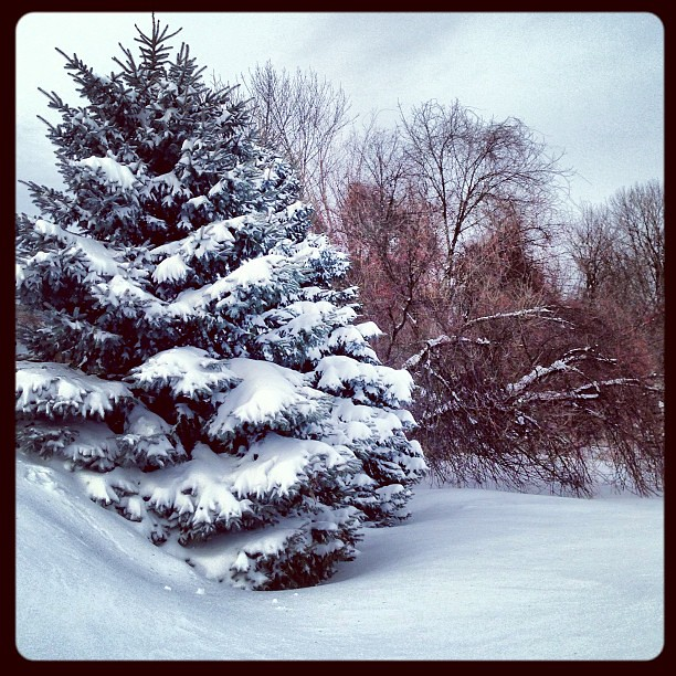 Snowy pines...
