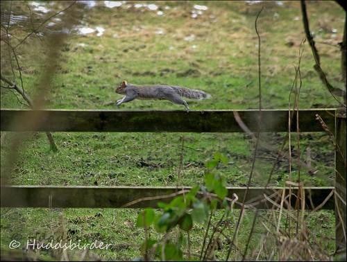 Squirrel 7/52