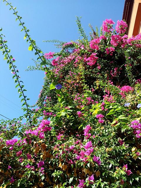 Alanya flowers