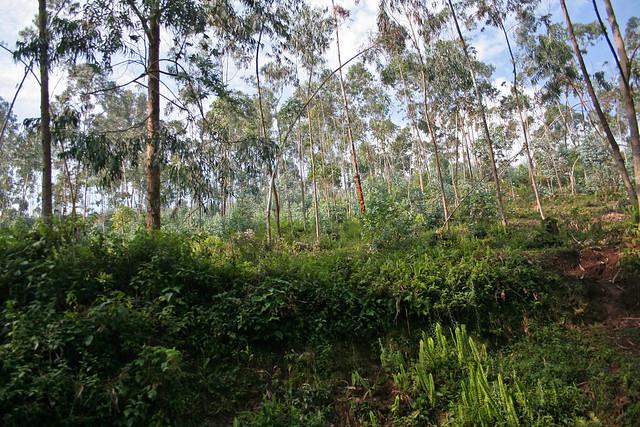 trees near Nyungwe