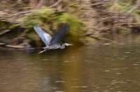 blue heron in full fligh