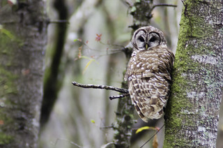 Beidler Forest Barred Owl