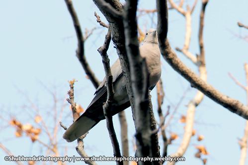 Spotted dove by ShubhenduPhotography