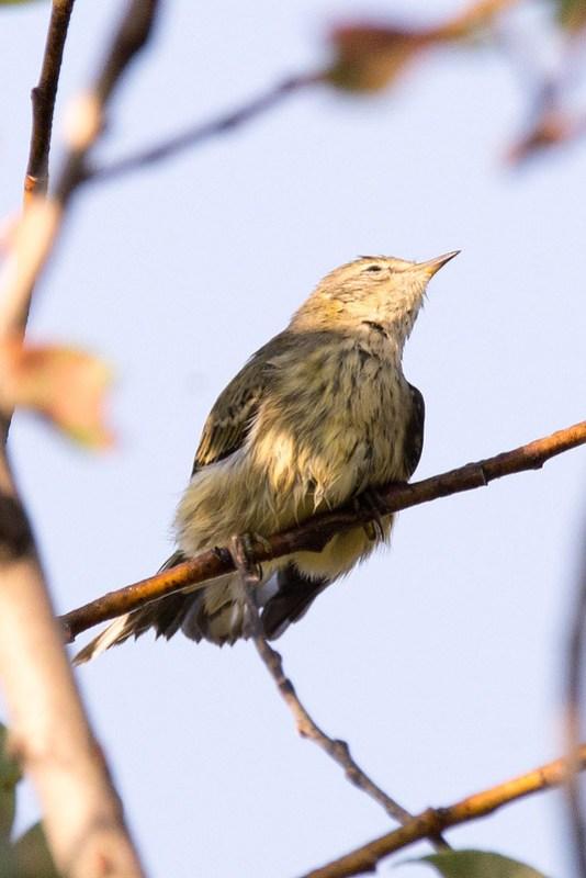 _DSC3502 Cape May Warbler