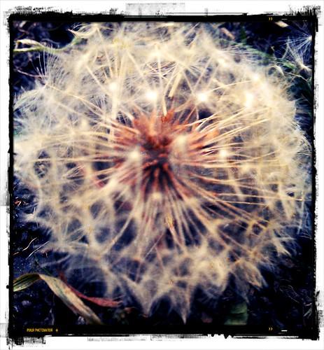 Seed head by deadheaduk