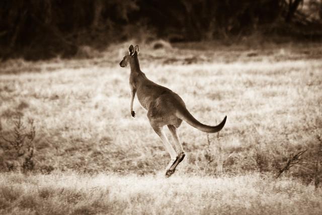 Kangaroo,  Perth Western Australia