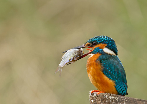 Kingfisher_6611
