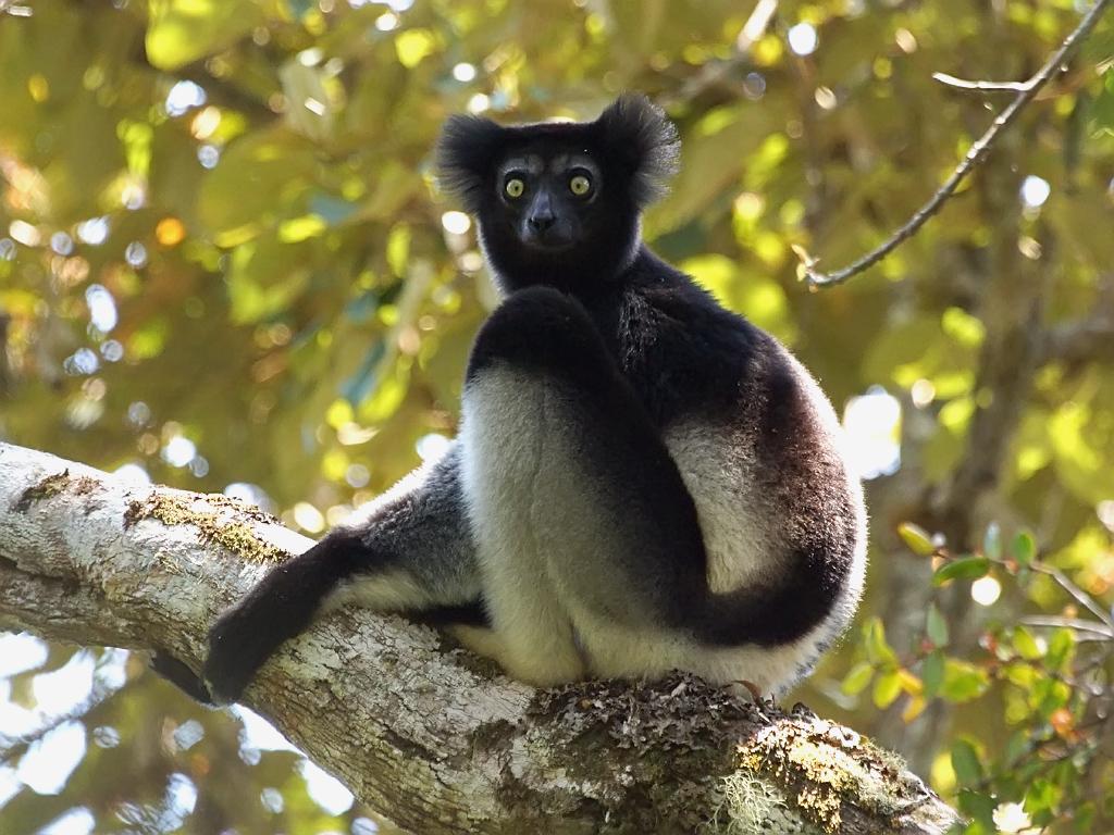 Animal Photo Wallpaper Indri Indri Indri Flickr Photo Sharing