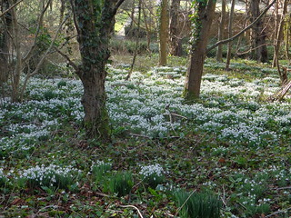snowdrop wood nr Newtimber