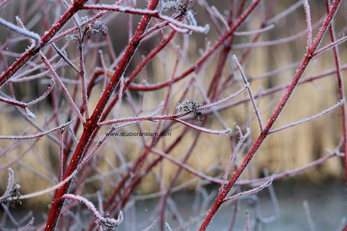 Frosted Red Stems