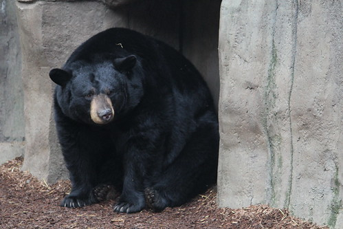 Black Bears at the Zoo (7)