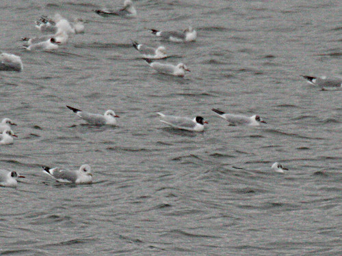 Mediterranean Gull Larus melanocephalus Tophill Low NR, East Yorkshire February 2013