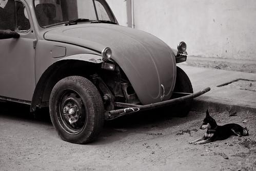 dogbug