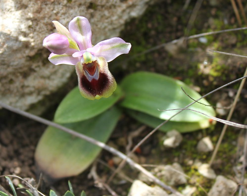 Ophrys tenthredinifera by Hesperetusa