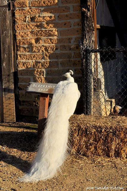 carillo_white_peacock_web