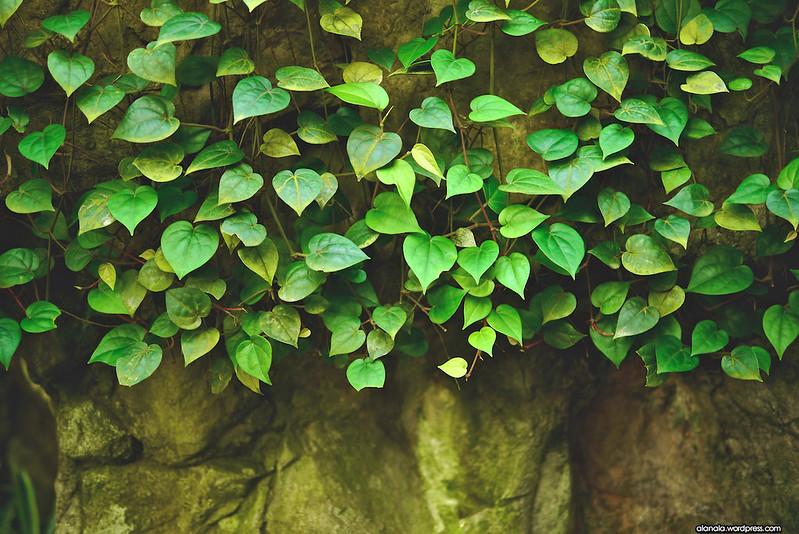 Heart-shaped leaves