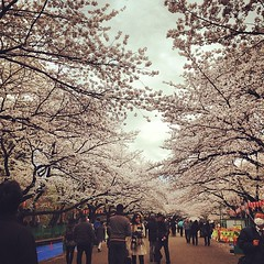 Ueno Cherry Blossoms